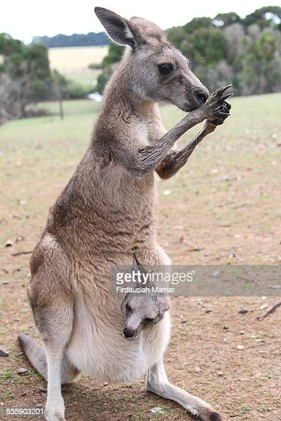 Kangaroo with baby (joey) in pouch