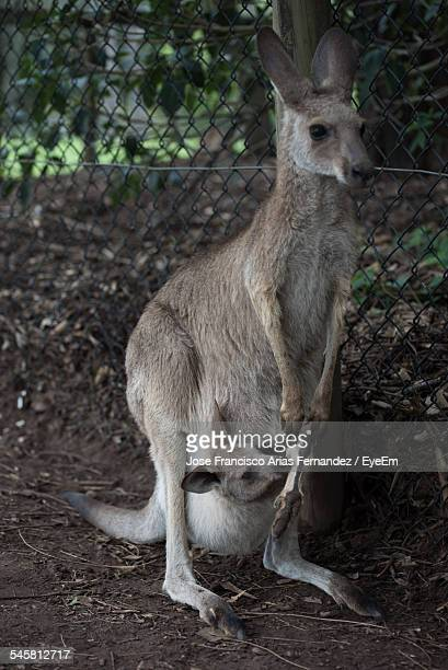 Kangaroo With Joey In Her Pouch