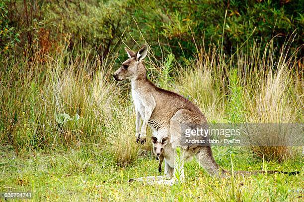Kangaroo With Joey In Pouch On Grassy Field