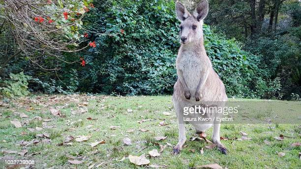 kangaroo with joey on grassy field - kangaroo stock pictures, royalty-free photos & images