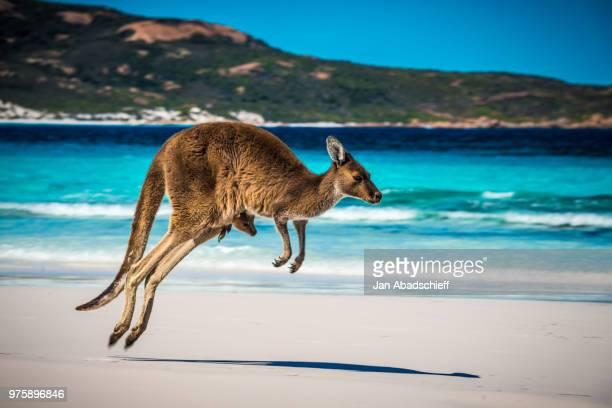 kangaroo+joey on beach - kangaroo stock pictures, royalty-free photos & images