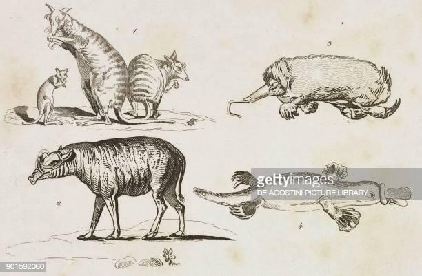 Kangaroos, 2 Buru babirusa, 3 Spiny Echidna, 4 Platypus, Oceania and Australia, engraving from Oceanie ou Cinquieme partie du Monde, Revue...