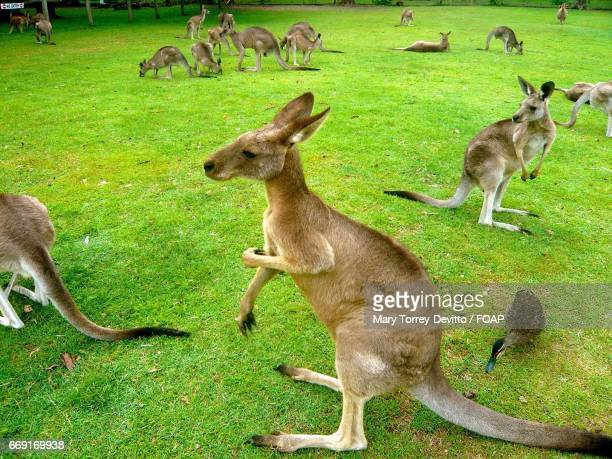 Kangaroos at brisbane, australia