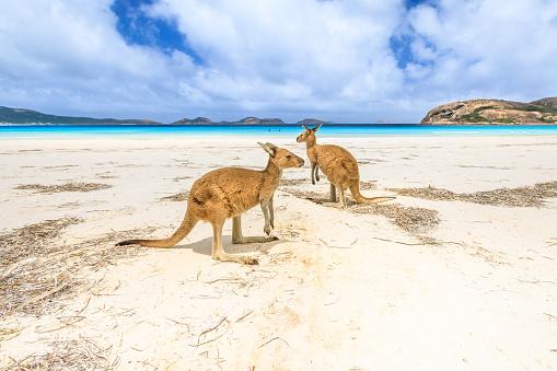 kangaroos at Lucky Bay 910607108