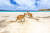 kangaroos at Lucky Bay