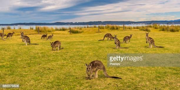 Kangaroos at Maloneys Beach in Bateman, New South Wales