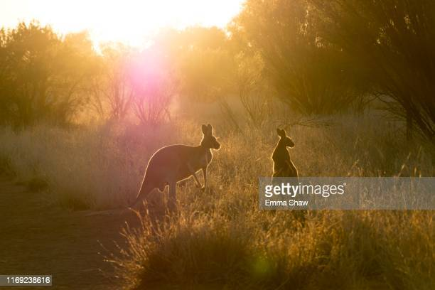 kangaroos at sunset - alice springs stock pictures, royalty-free photos & images