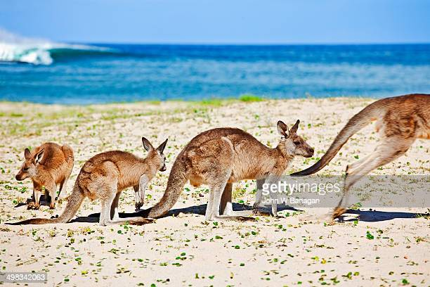 Kangaroos at the beach