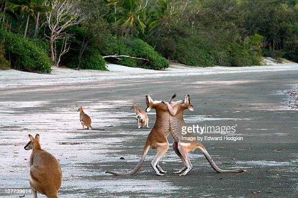 Kangaroos boxing