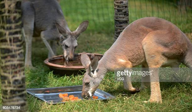 Kangaroos enjoy mooncake at Yangzhou Zoo to celebrate the upcoming MidAutumn Festival on September 13 2016 in Yangzhou Jiangsu Province of China...