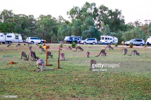 Kangaroos graze on a patch of grass at Victory Park Caravan Park on March 04, 2019 in Wilcannia, Australia. The Barkandji people - meaning the river...