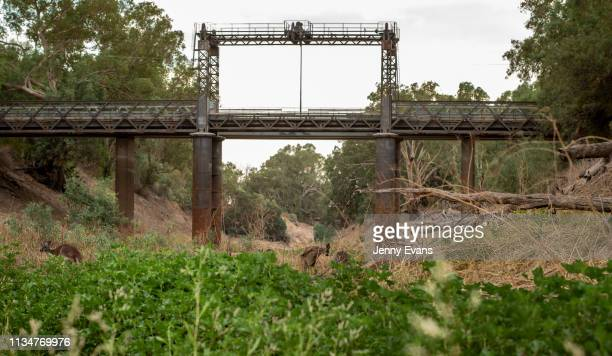 Kangaroos graze on the Darling-Barka river bed near the Wilcannia bridge on March 06, 2019 in Wilcannia, Australia. The Barkandji people - meaning...