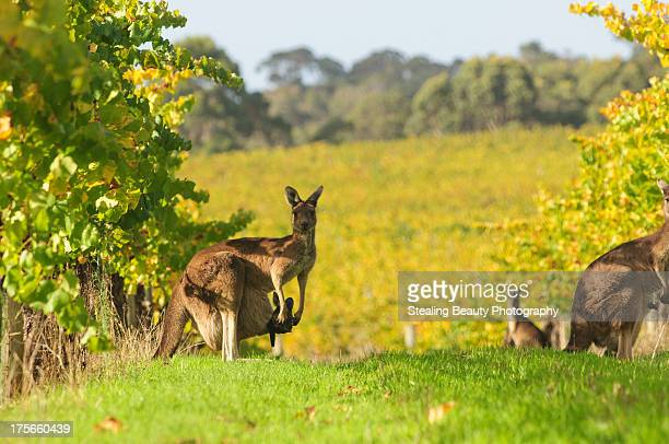 CONTENT] Kangaroos grazing in vineyards at Leeuwin Estate in Margaret River Western Australia Mother with a joey Juvenile and adult