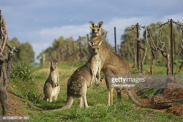 Kangaroos, Hunter Valley Wine Region, New South Wales, Australia