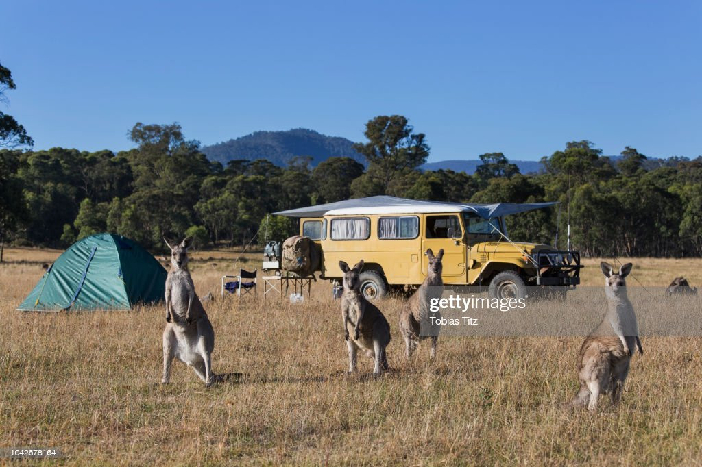 Kangaroos in sunny field near campsite : Stock Photo