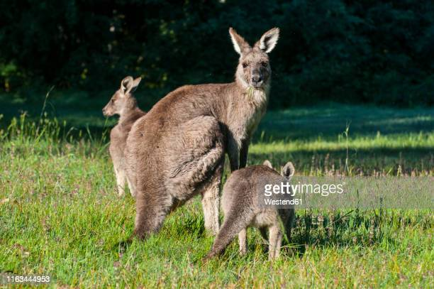 kangaroos in the grampians national park, victoria, australia - marsupial imagens e fotografias de stock