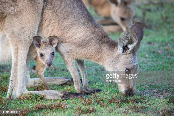 kangaroos in the wild - baby - joey- kangaroo peeping out from the mother kangaroos pouch looking at the camera - marsupial imagens e fotografias de stock