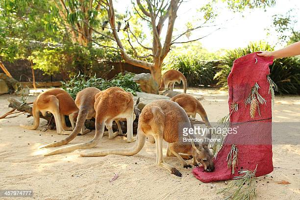 Kangaroos inspect a Christmas stocking at Taronga Zoo on December 20 2013 in Sydney Australia Animals received Christmas themed treats and puzzles as...