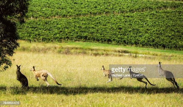 Kangaroos Jumping On Grassy Field