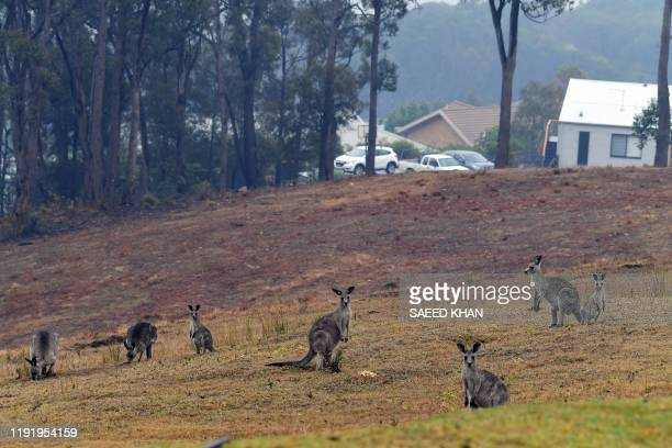Kangaroos move close to a residential area from bushland in Merimbula in Australia's New South Wales state on January 6 2020 Massive bushfires have...
