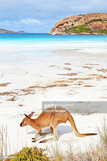 Kangaroos on beach, Esperance