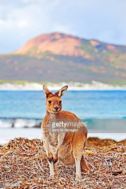Kangaroos on beach , Esperance