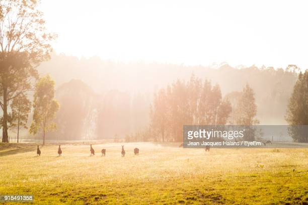kangaroos on field against sky during sunny day - kangaroo stock pictures, royalty-free photos & images