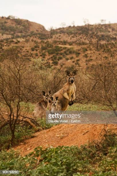 kangaroos on landscape against sky - kangaroo island stock photos and pictures