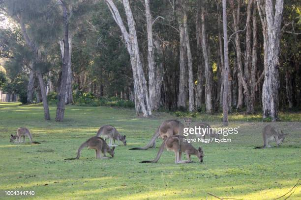 Kangaroos Standing On Grassy Field In Forest