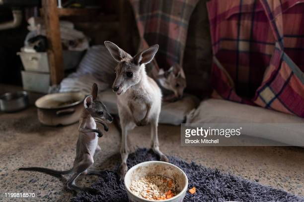 Kangaroos under the care of Wytaliba residents and wildlife carers Julie Willis and Gary Wilson are pictured on their property on January 14 2020 in...