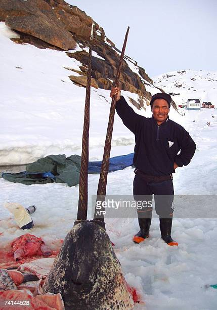 Sealer Aron Aqqaluk Kristiansen from the settlement Kangersuatsiaq Upernavik commune 12 May 12 2007 poses with the head of a narwhal with an unusual...