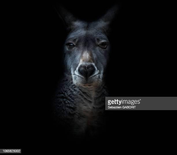 kangourou roux - marsupial stock pictures, royalty-free photos & images