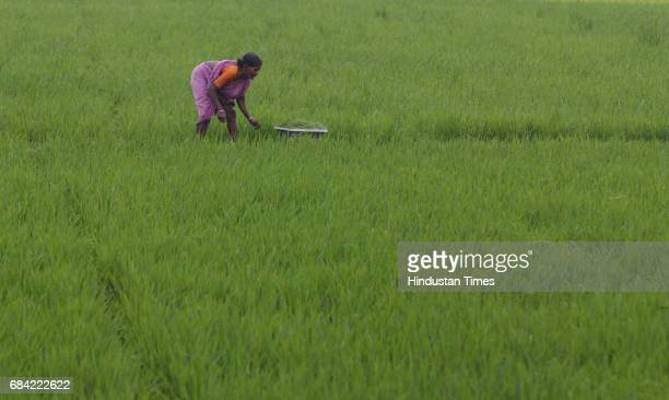 Kannalam in the pink sari are out in the paddy fields The dark paddy is ready for harvest while the lighter paddy awaits the completion of its 110day...