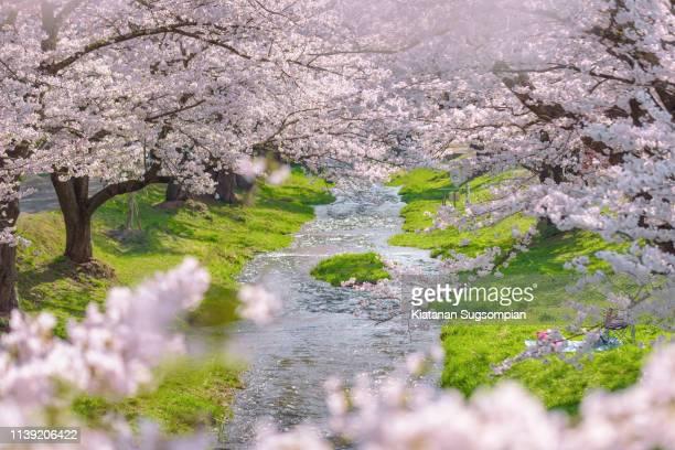 kannonji river sakura trees - unesco stockfoto's en -beelden