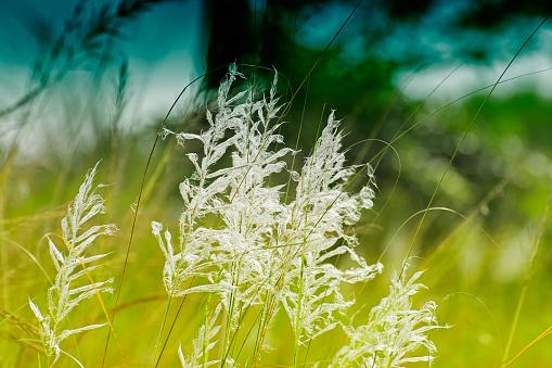 Kans grass (Saccharum spontaneum), at Kolkata, West Bengal, India 635898480