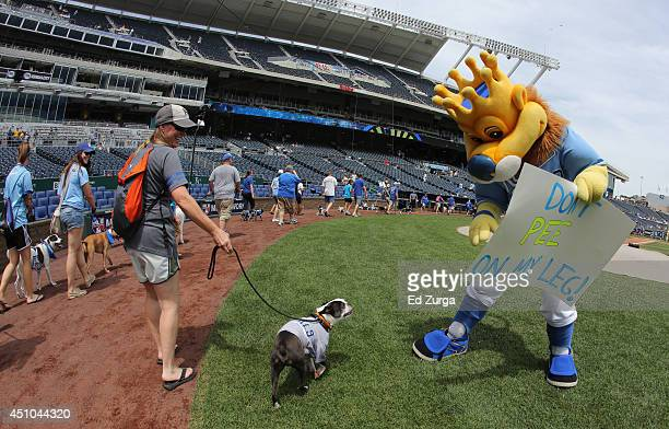 Kansas City Royals mascot Sluggerrr has funs with a fan and her dog as they walk around Kauffman Stadium during Bark at the Park on June 22 2014 in...