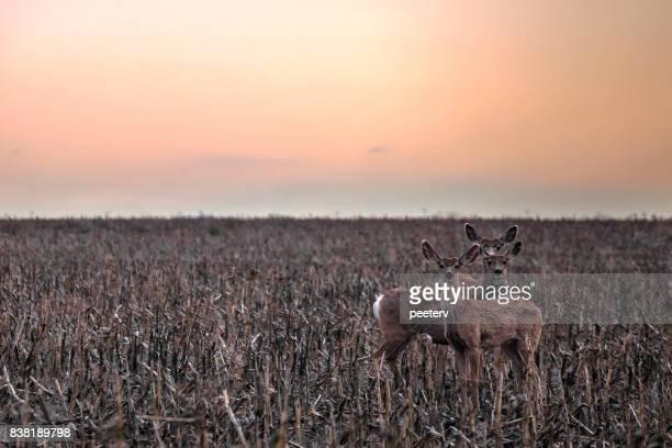 フィールド上のカンザス ラバ鹿