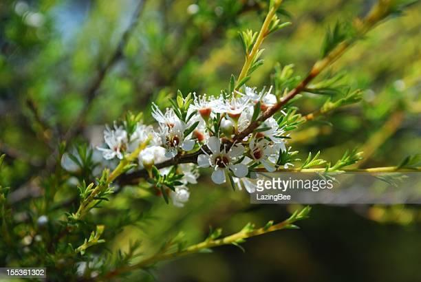 kanuka (kunzea ericoides) tea tree - manuka stock photos and pictures