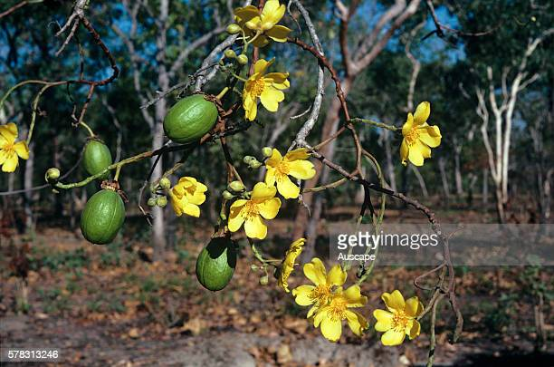 Kapok Cochlospermum fraseri flowers and fruit Top End Northern Territory Australia