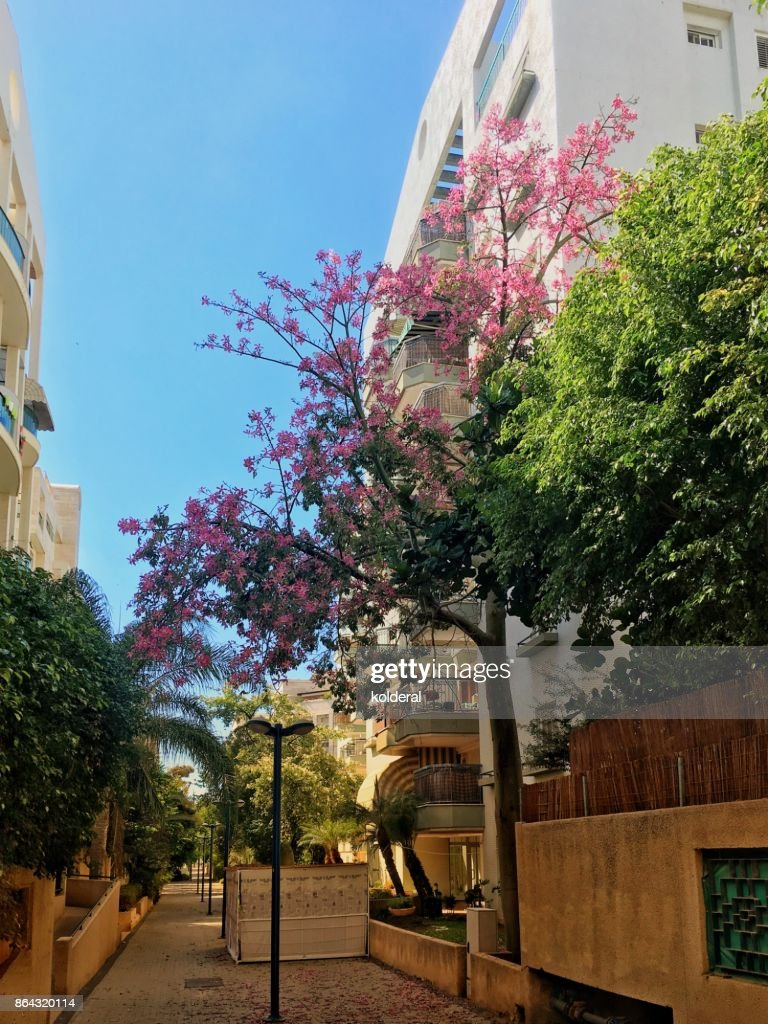 Kapok Tree Pink Flowers With Residential Building On