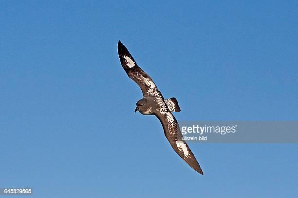 Kapsturmvogel fliegend Antarktis