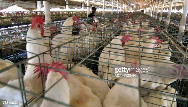 A Pakistani poultry worker feeds chickens on a farm on the outskirts of Karachi 10 April 2007 Pakistani authorities on 09 April reported two new...