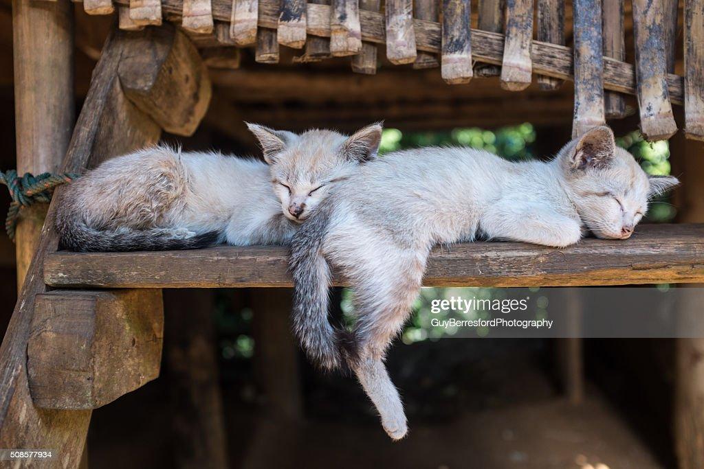 Karen hill tribe kittens sleeping : Stock Photo
