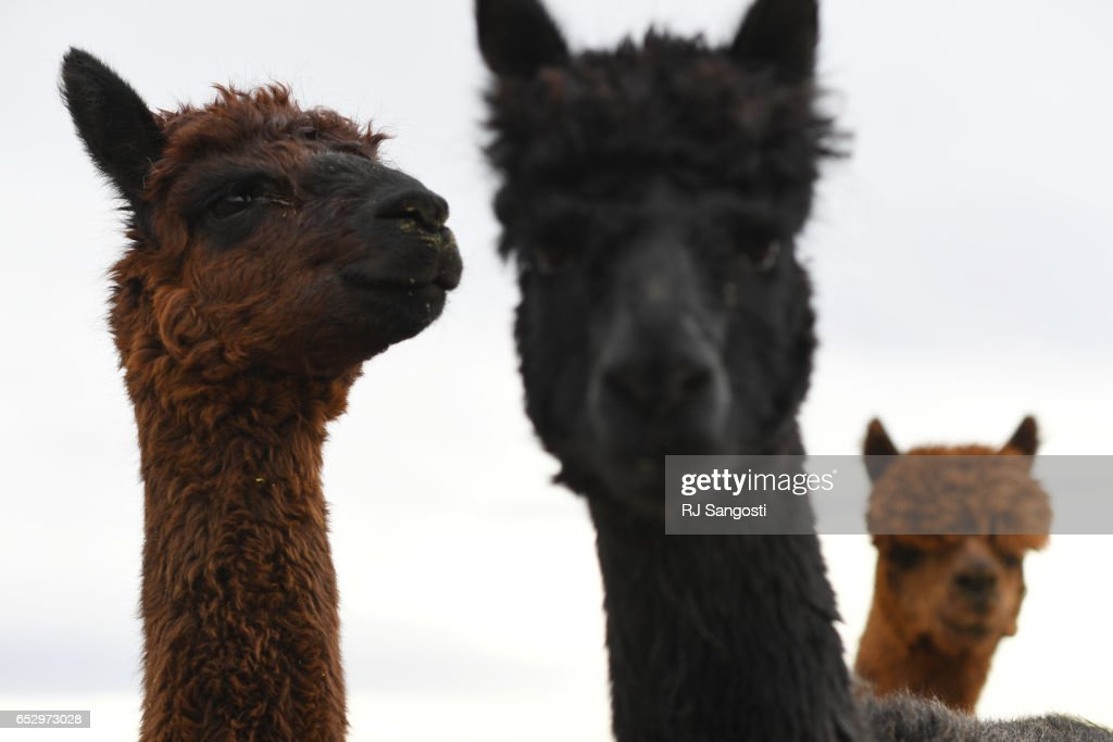 Karen Kinyon own several alpacas at her home, in Wellington, where she creates handmade alpaca garments and teaches classes on the art of alpacas and their fibers, March 13, 2017. Kinyon will join others at the Alpaca Owners Association National Show later this week in Denver.