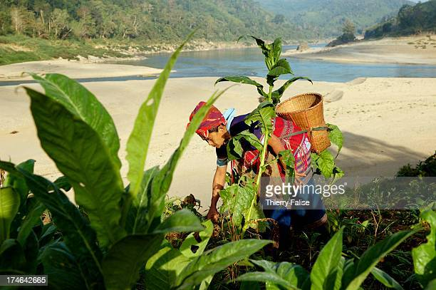 Karen woman attends crops on the fertile bank of the Salween River a 2800 kilometres river which takes its source in western China and empties in the...