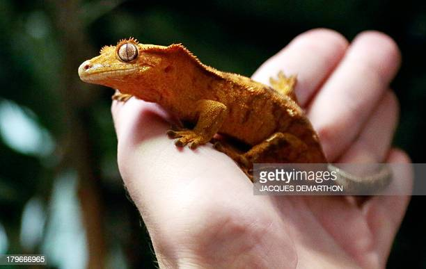 Karim Daoues manager of La Ferme Tropicale shows a Rhacodactylus ciliatus also know as the Crested Gecko on September 6 2013 in Paris Specialties...