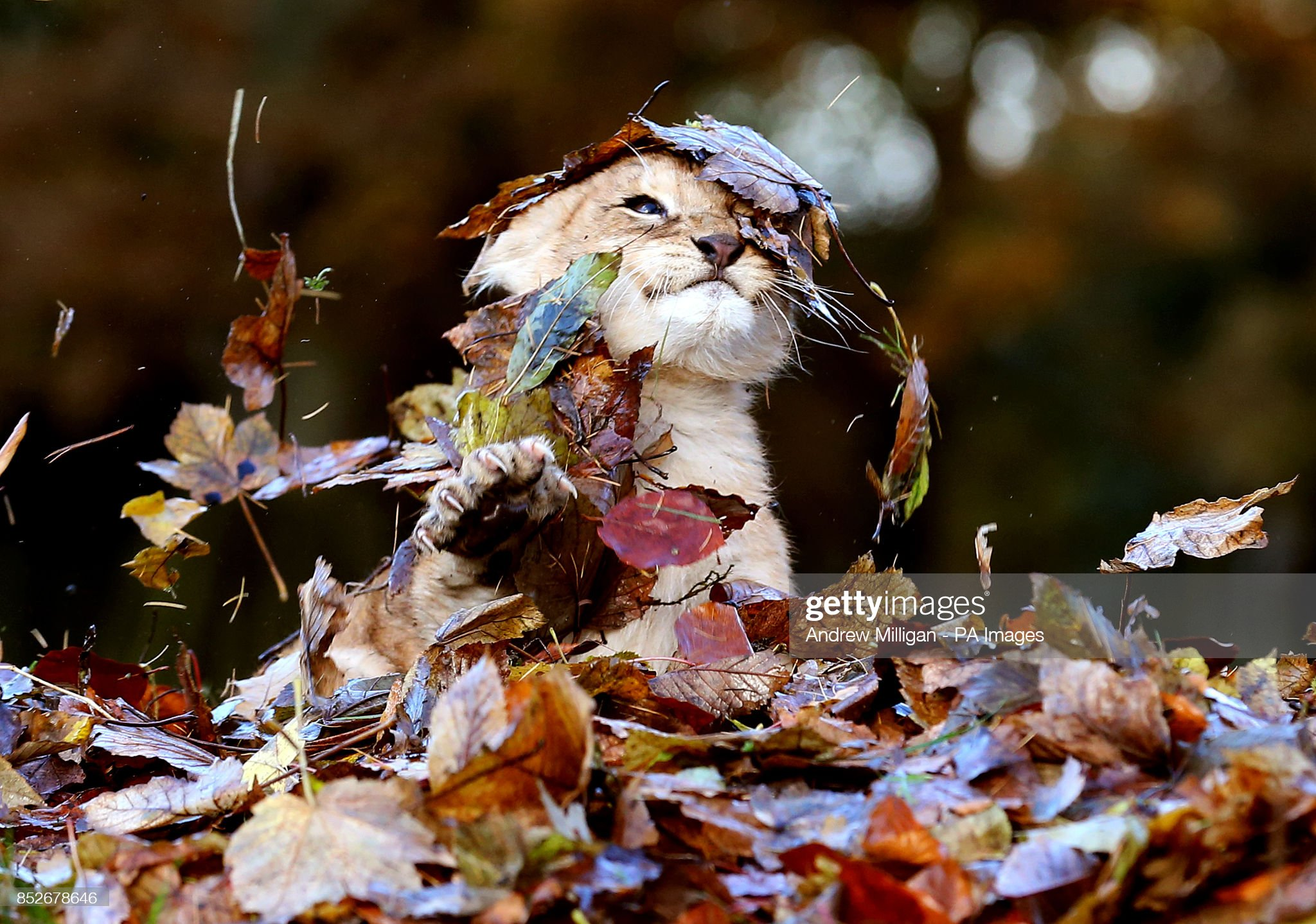 Lion cub plays in autumn leaves : News Photo