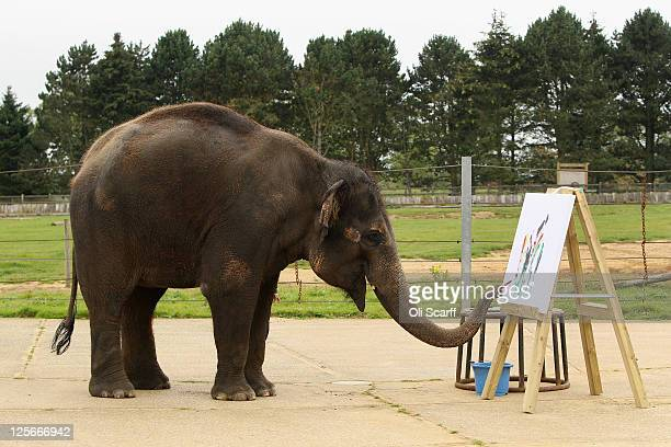 Karishma a 13 year old female Asian elephant paints at an easel in her enclosure at ZSL Whipsnade Zoo on September 20 2011 in Dunstable England A...