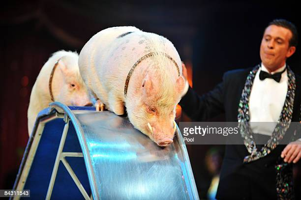 Karl Ferdinand Trunk performs with albino boars during the 33rd International Circus Festival of Monte Carlo on January 15 2009 in Monte Carlo Monaco