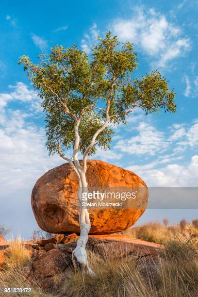 Eucalyptus Papuana Stock Photos And Pictures Getty Images